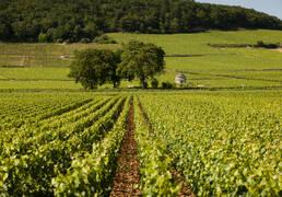 Os vinhedos da Savigny-les-Beaune