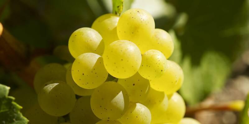 Uva Chardonnay