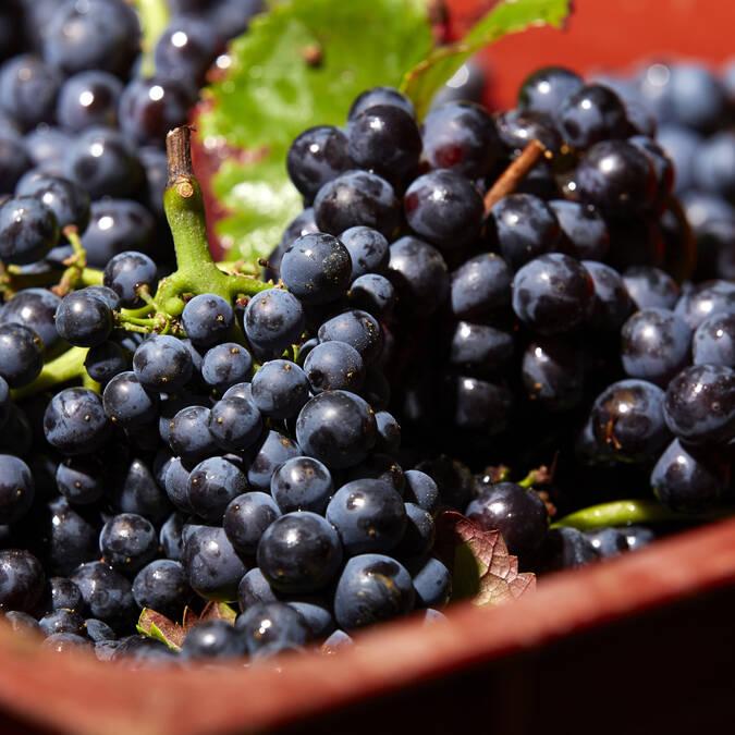 Víndimas : Pinot noir © Studio Piffaut